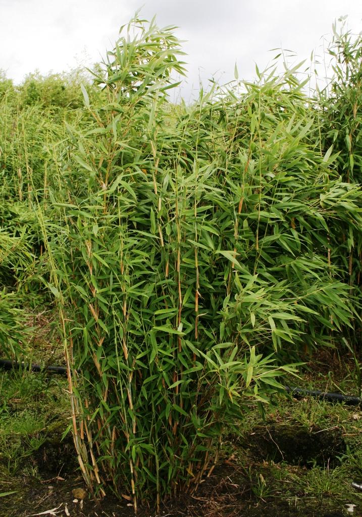 fargesia jumbo winterharter bambus ohne wurzelausl ufer bambus und ziergr ser aus dem ammerland. Black Bedroom Furniture Sets. Home Design Ideas